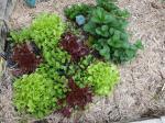 vege_garden_lettuce